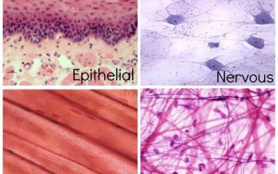 Four Basic Tissues